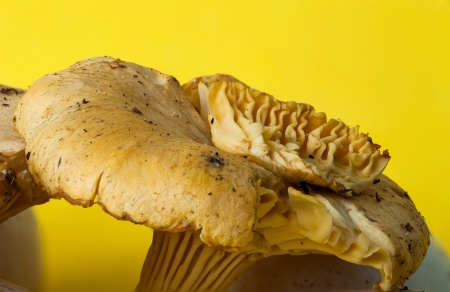 focus stacking: Chanterelle yellow mushroom  Close up using a focus stacking technique
