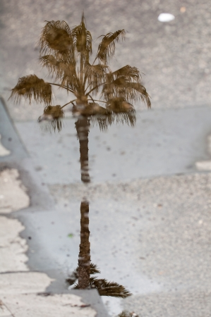 Palm tree reflecting in a puddle