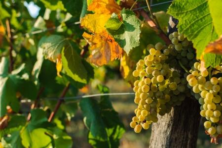 Vineyards in autumn - Grapes close up  Standard-Bild