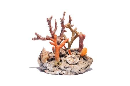 Coralli attaccati ad un fossile di conchiglia