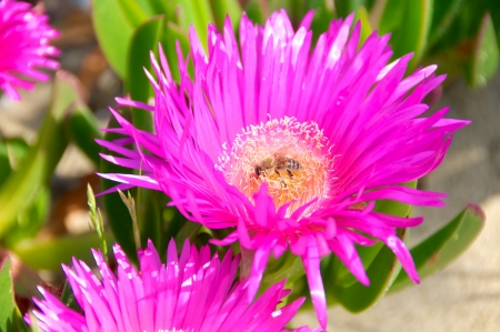 fico: Carpobrotus edulis flower, Italy, Fico degli Ottentotti