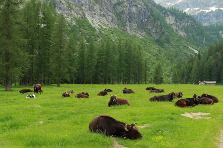 Cows lying in the meadow
