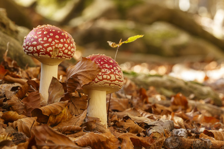 Two amanita muscaria mushrooms in the woods Stok Fotoğraf