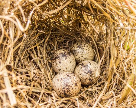blooded: moorhen eggs