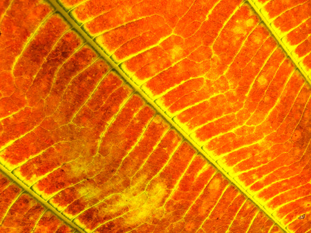 lurid: Red Leaf Under Sunlight Stock Photo