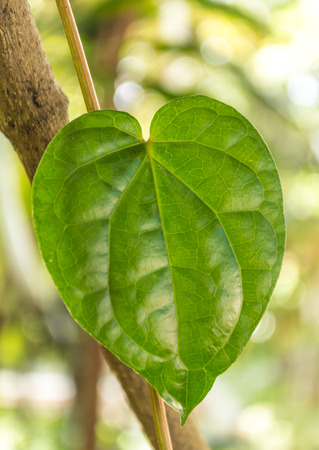 betel leaf: heart shape of a betel leaf