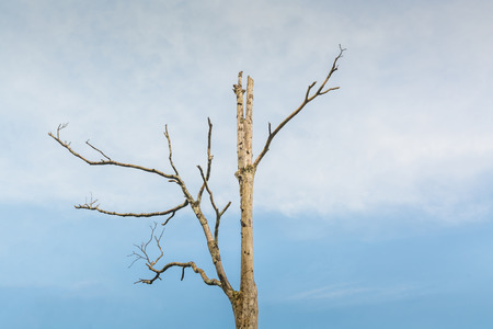 sun dried: sun dried tree in light blue, soft tone sky