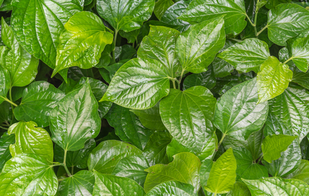 colic: Appropriate eating betel leaf as medicine to anti cancer, phlegm, sputum, flatulence, indigestion, Distension, colic and inhibit delay