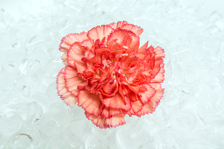 purify: red carnation on purify ice Stock Photo