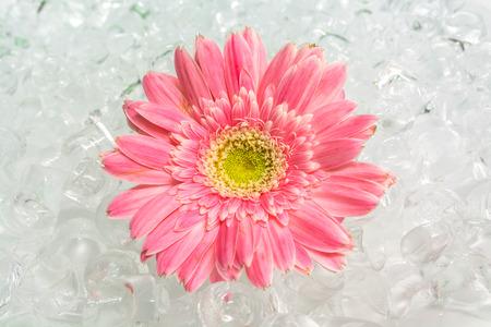 purify: cool gerbera on purify ice