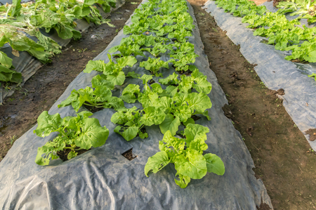 moisture: plant flowering cabbage by wrapping soil to keep moisture and avoid grass weed