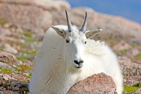 woolley: Mount Evans Mountain Goat