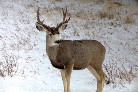 mule: Mule Deer Stock Photo