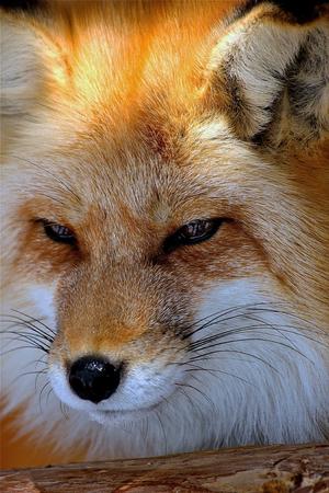 studious: Red fox