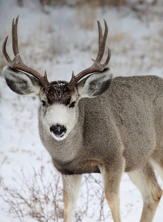 vigilant: Mule Deer Buck in winter Stock Photo