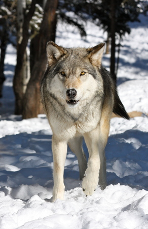 timber wolf: Timber wolf in snow