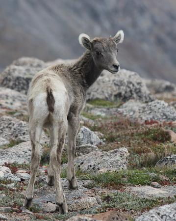 evans: Baby Big horn sheep