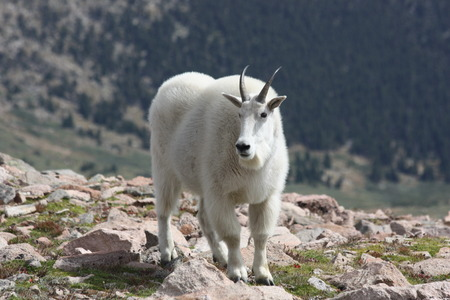 woolley: Mount Evan Mountain goat