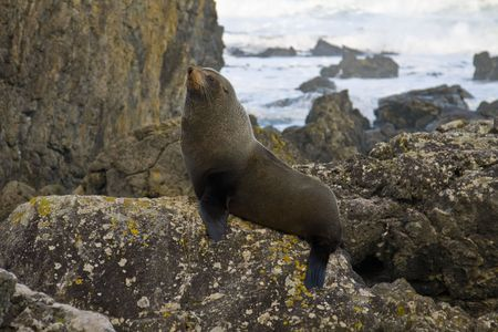 Seal posing for a picture on a rock in New Zealand