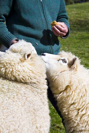 Farmer feeding his sheep by hand