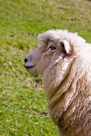 Profile of sheep in New Zealand Stock Photo