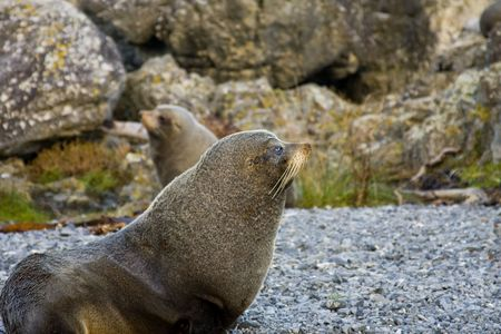 Two Seals on a  in New Zealand