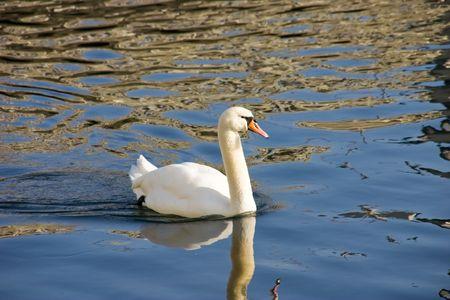 Beautiful white swan  Stock Photo