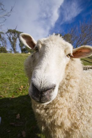 Closeup of a New Zealand sheep with a wide angle lens Stock Photo
