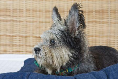 Mixed breed scruffy cute dog Stock Photo