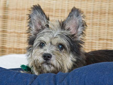 scruffy: Mixed breed scruffy cute dog Stock Photo