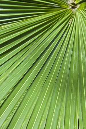 Close up of green palm leaf
