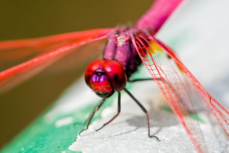 close up pink dragon fly