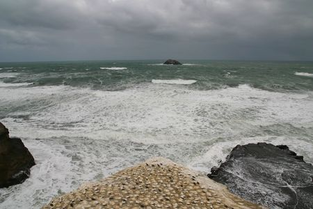 Gannet colony on a stormy day at Muriwai New Zealand Stock Photo