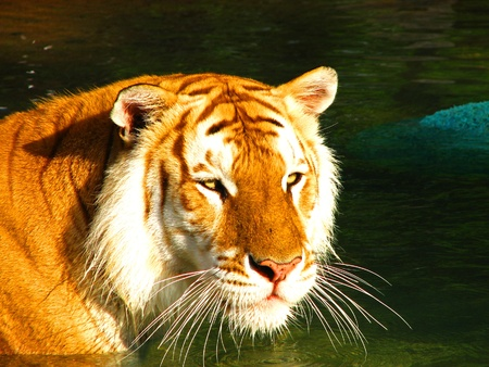 Golden Tabby tiger in the sun