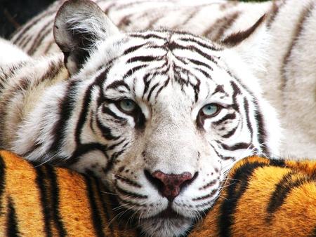White tiger using orange tiger as pillow Stock Photo