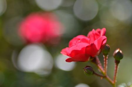 red rose bokeh: red rose Stock Photo