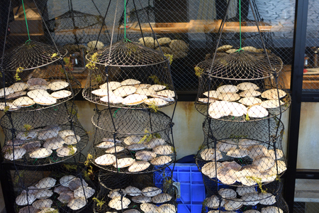 scallop shell: drying scallop shell