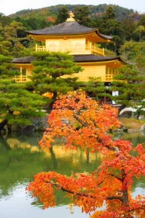 Maple Tree in fron of gold pavilion of Kinkakuji temple