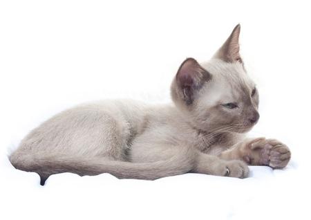 Burmese  Russian Blue cross breed kitten (Felis catus). photo
