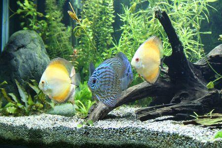 peces de acuario: Pescados Del Acuario Del Disco