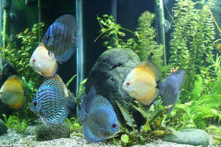 Discus Aquarium Fish Stock Photo - 2912987