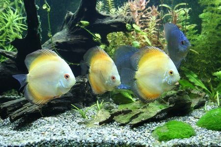 pez disco: Discus peces de acuario  Foto de archivo