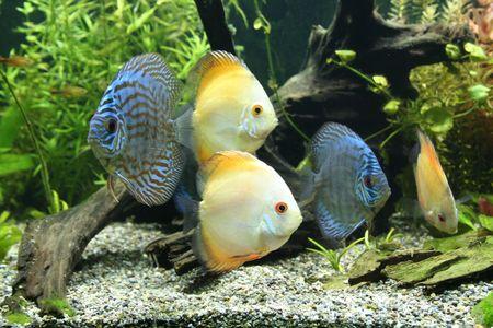 peces de acuario: Discus peces de acuario  Foto de archivo