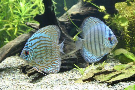 Discus Aquarium Fish photo