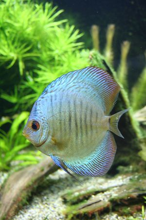 discus: Blue Discus - Tropical Aquarium Fish