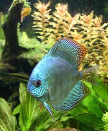 pez disco: Blue Discus - acuario de peces tropicales