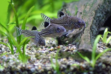biotype: Three Corydoras Trinilleatus Catfish, tropical aquarium fish