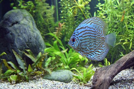 discus: A Blue Turquoise Discus, tropical aquarium fishswimming in an aquarium.  Space for copy. Stock Photo