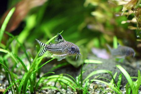 biotype: A Corydoras Trinilleatus Catfish swimming in a planted tropical aquarium.  Space for copy.