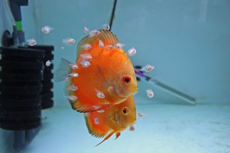 fish rearing: A pair of Marlboro Orange Discus Fish with babies feeding from them. Stock Photo